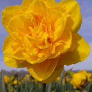 Heamoor daffodil