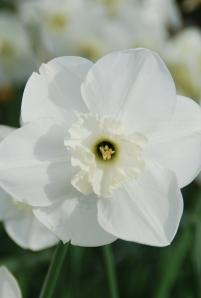 Falmouth Bay _daffodil