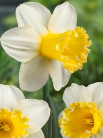 Sugard Dipped_daffodil