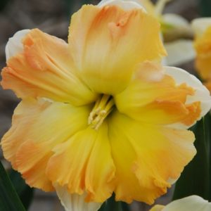 Daffodil Apple Pie