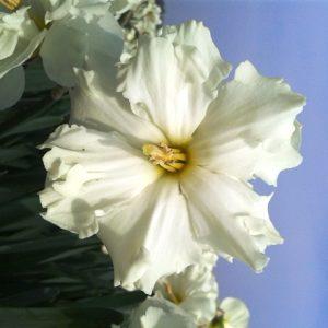 Narcissus Colblanc