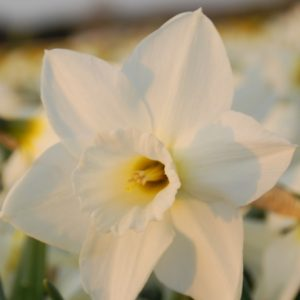 Narcissus Desdemona
