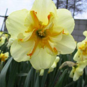 Narcissus Donaupark