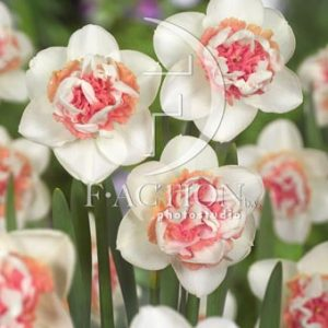 Narcissus Pink Paradise