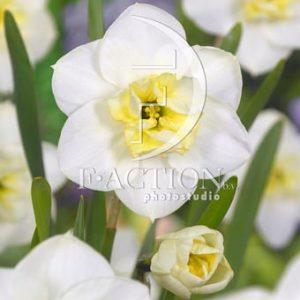 Narcissus Papillon Blanc