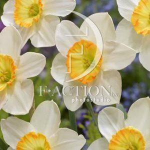Narcissus Manon Lescaut