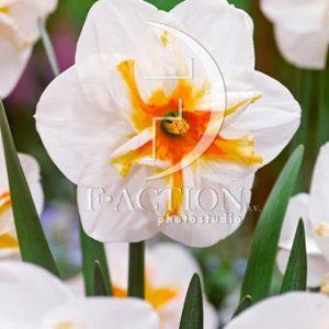 Narcissus Broadway Star