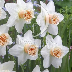 Narcissus Exotic Beauty
