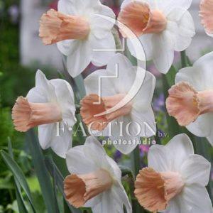 Narcissus Pink Silk
