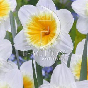 Narcissus Slim Whitman