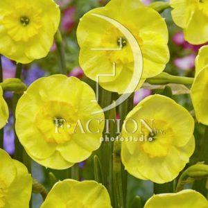 Narcissus Sun Disc