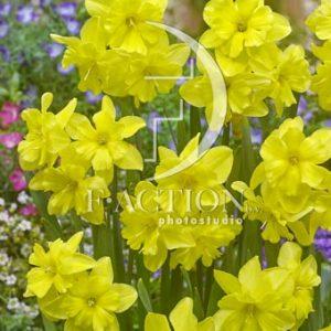 Narcissus Tripartite