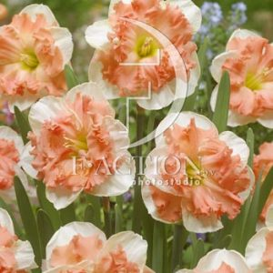 Narcissus Vanilla Peach