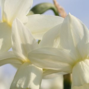 Narcissus Ice Wings