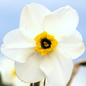 Narcissus lancaster