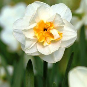 Narcissus Madison