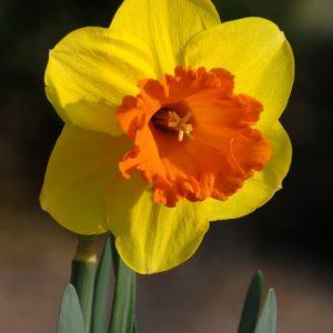 Narcissus MaryBohannon