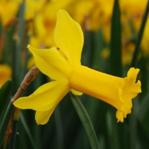Narcissus Peeping Tom