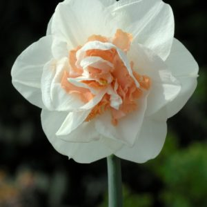 Narcissus Pink Champagne