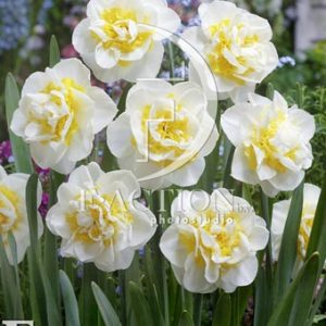Narcissus Atholl Palace