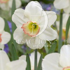 Narcissus High Society