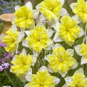 Narcissus Valdrome