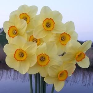 Narcissus_Pacific_Rim